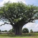 Shea Karite Tree